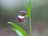 Rams Head Orchid