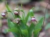Lady slippers (Rams Head Orchid)