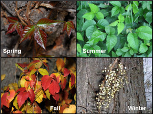 Poison Ivy Seasons