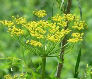 parsnip-flowers