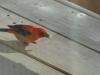 scarlet-tanninger-07e84ccb59119eb40e580c41deb026535c811996